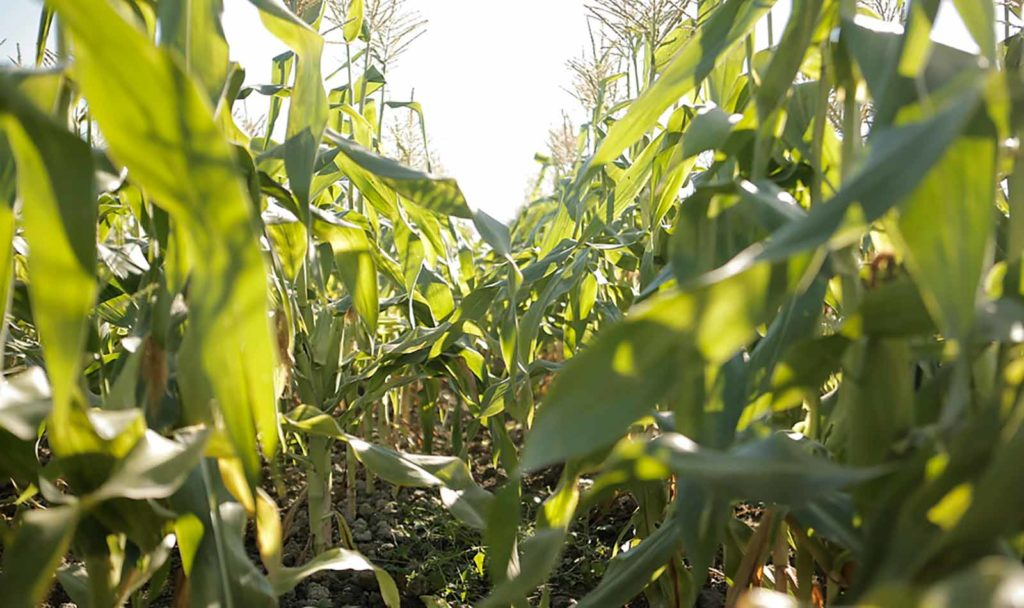 End of Summer Corn